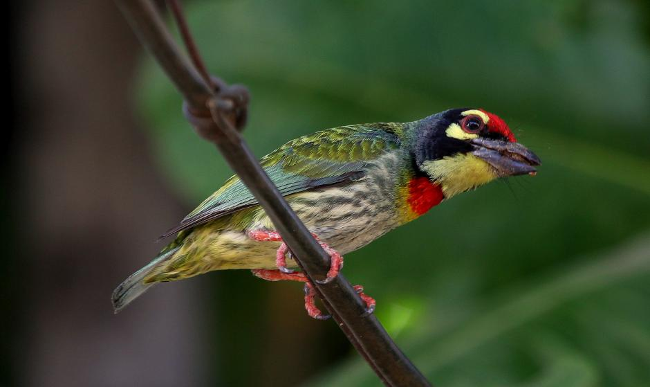 Coppersmith Barbet coloring #12, Download drawings