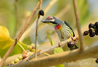 Coppersmith Barbet coloring #11, Download drawings