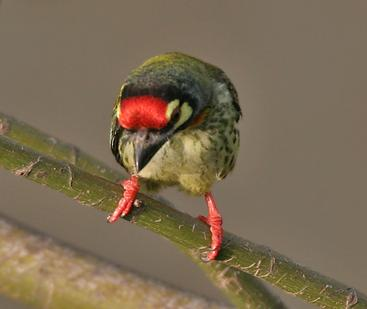 Coppersmith Barbet coloring #8, Download drawings
