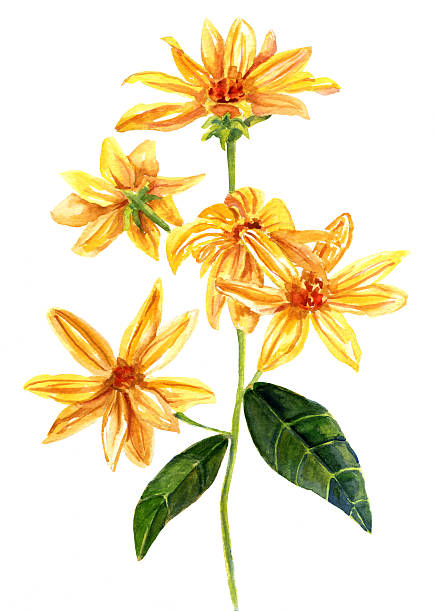 Coreopsis clipart #11, Download drawings