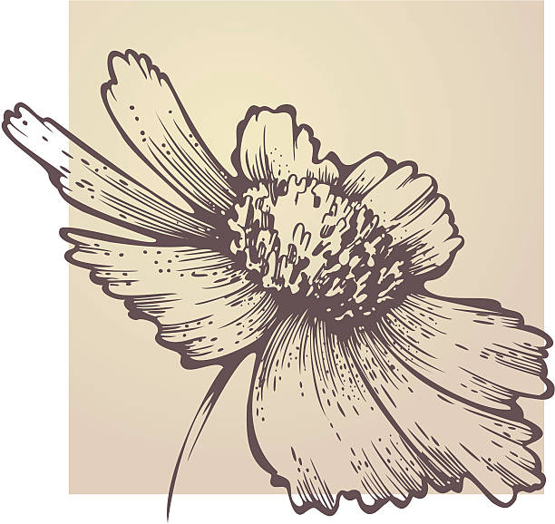 Coreopsis clipart #15, Download drawings