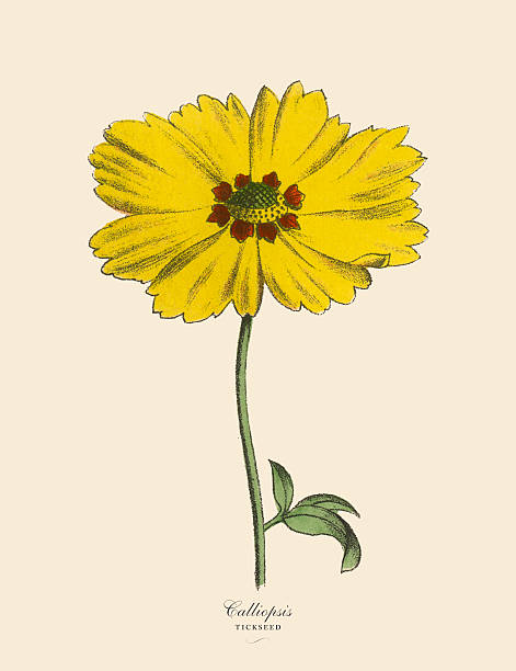 Coreopsis clipart #16, Download drawings