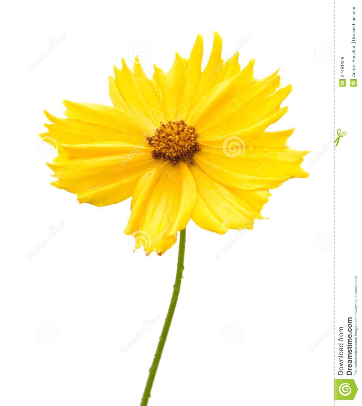 Coreopsis clipart #4, Download drawings