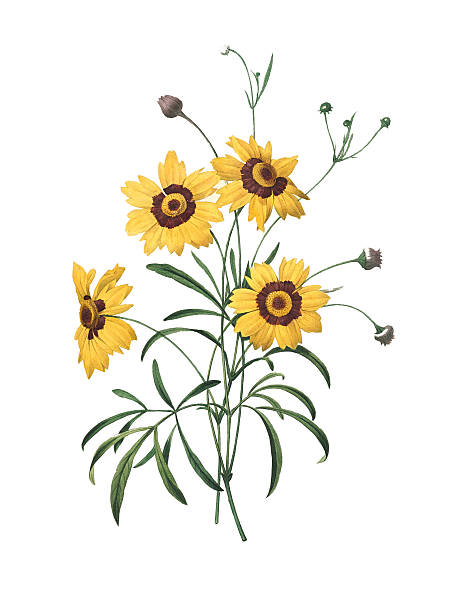 Coreopsis clipart #8, Download drawings