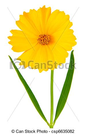 Coreopsis clipart #6, Download drawings