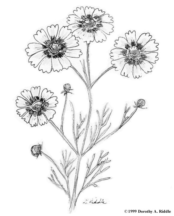 Coreopsis coloring #5, Download drawings