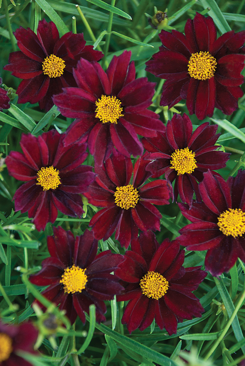 Coreopsis coloring #20, Download drawings