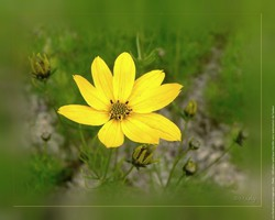 Coreopsis coloring #13, Download drawings