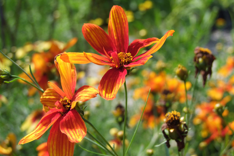 Coreopsis coloring #14, Download drawings