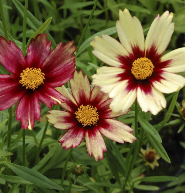 Coreopsis coloring #10, Download drawings
