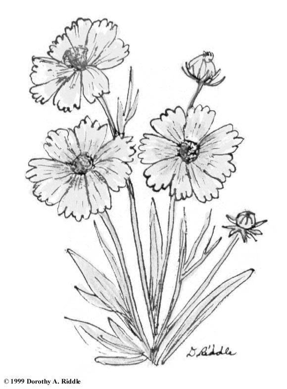 Coreopsis coloring #7, Download drawings