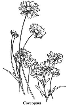 Coreopsis coloring #4, Download drawings