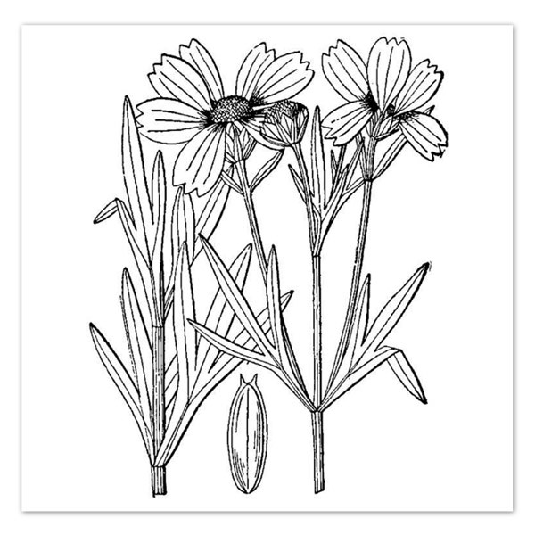Coreopsis coloring #8, Download drawings