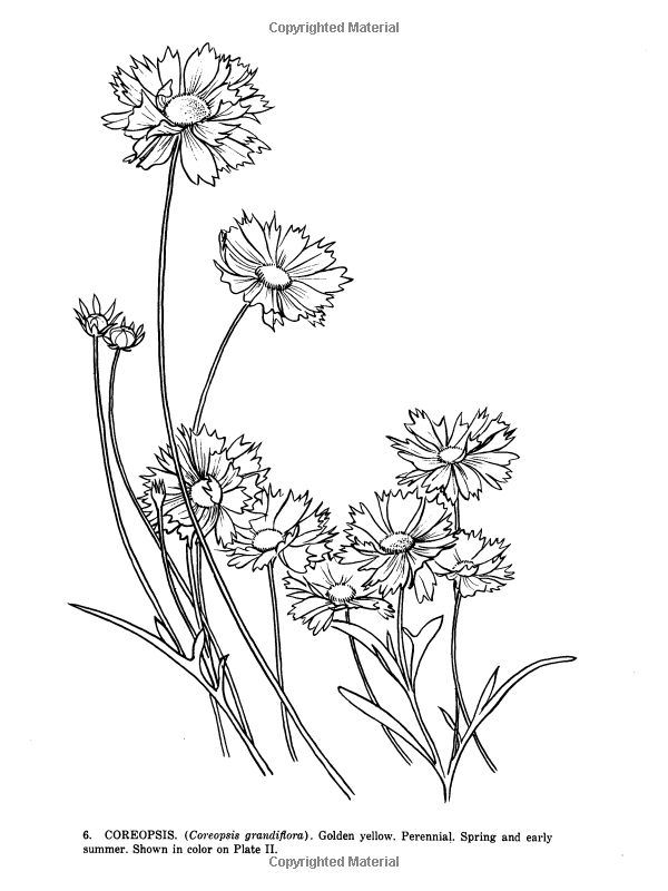 Coreopsis coloring #6, Download drawings