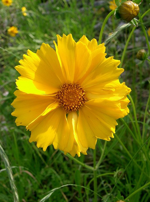 Coreopsis svg #14, Download drawings