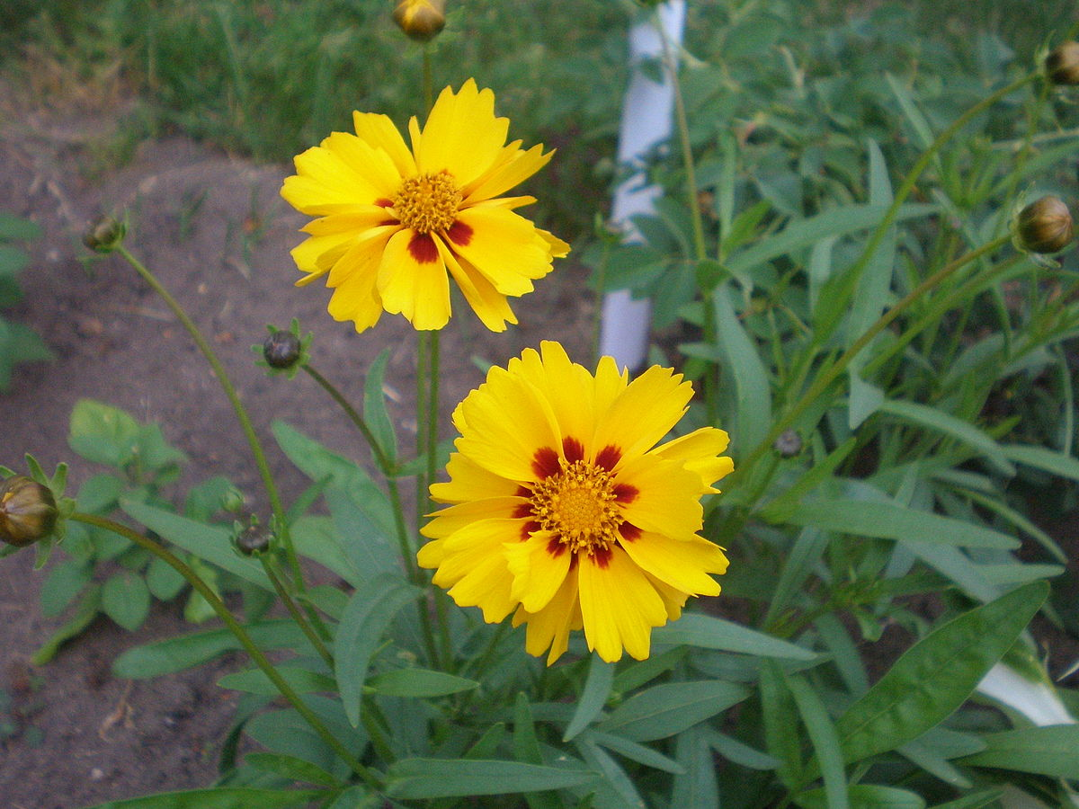 Coreopsis svg #6, Download drawings