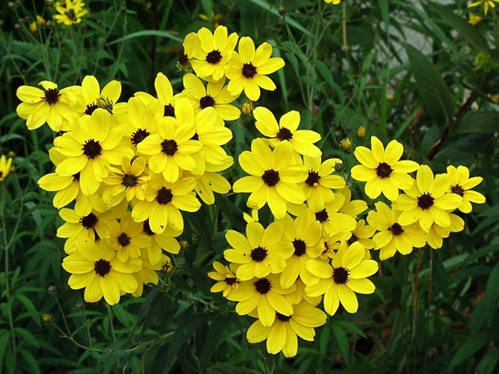 Coreopsis svg #11, Download drawings