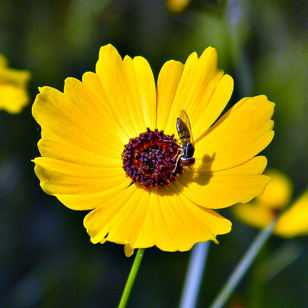 Coreopsis svg #3, Download drawings