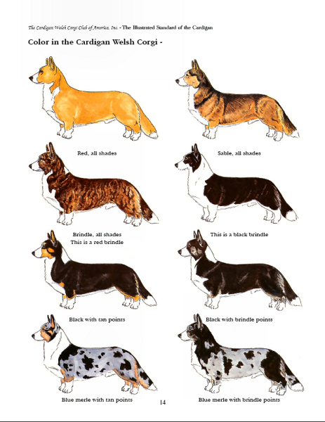 Corgi  coloring #5, Download drawings