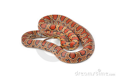 Corn Snake clipart #20, Download drawings