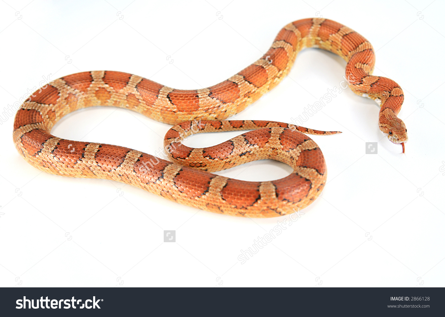 Corn Snake clipart #4, Download drawings