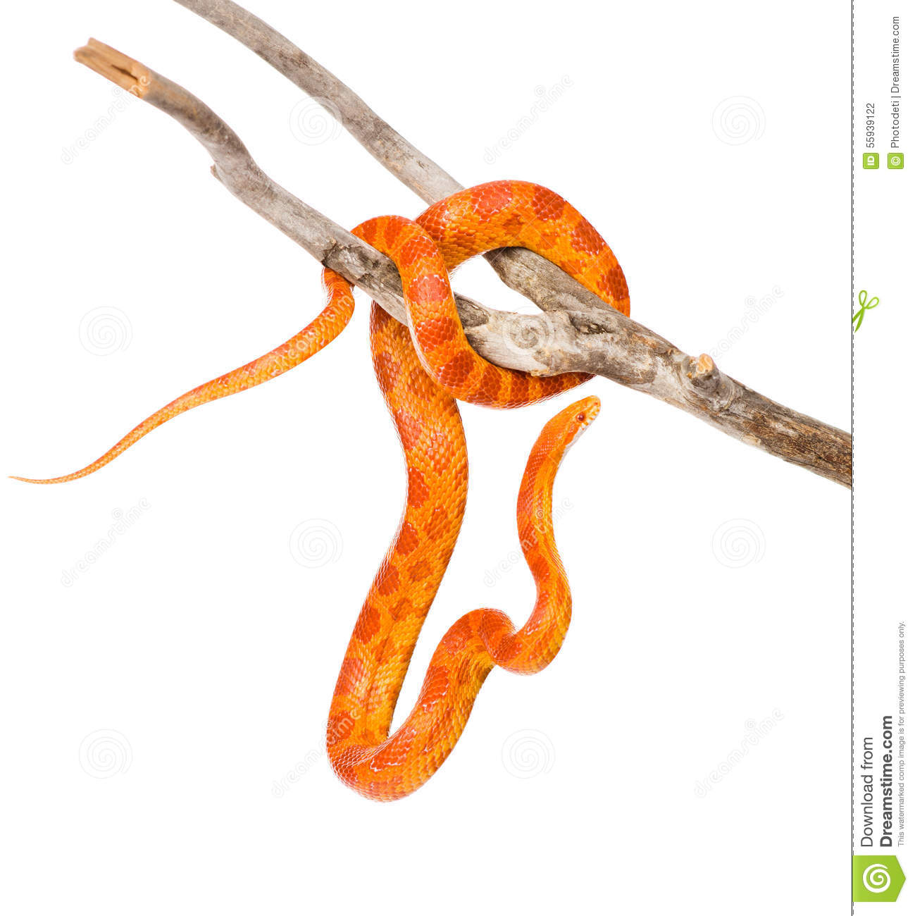 Corn Snake clipart #10, Download drawings