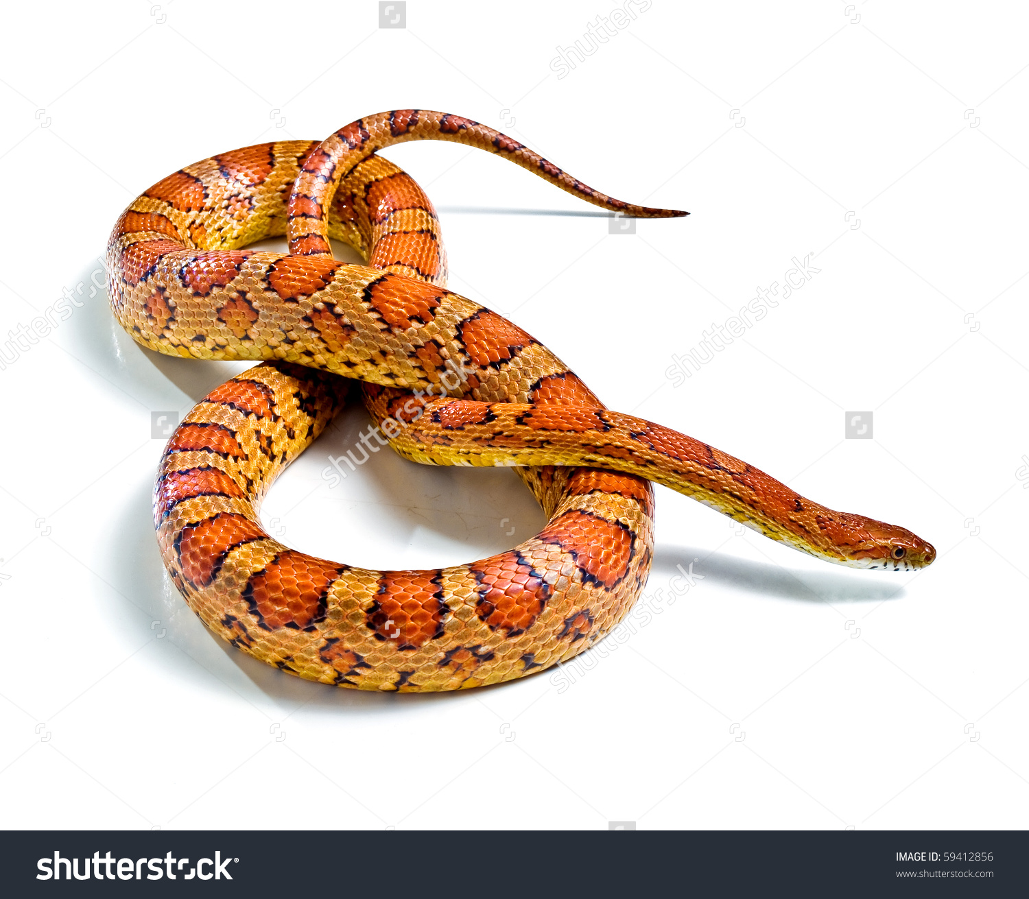 Corn Snake clipart #8, Download drawings