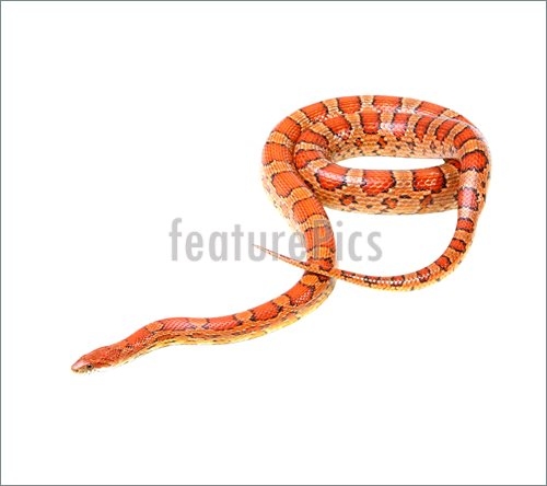 Corn Snake clipart #11, Download drawings