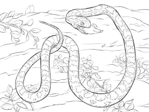 Corn Snake coloring #5, Download drawings