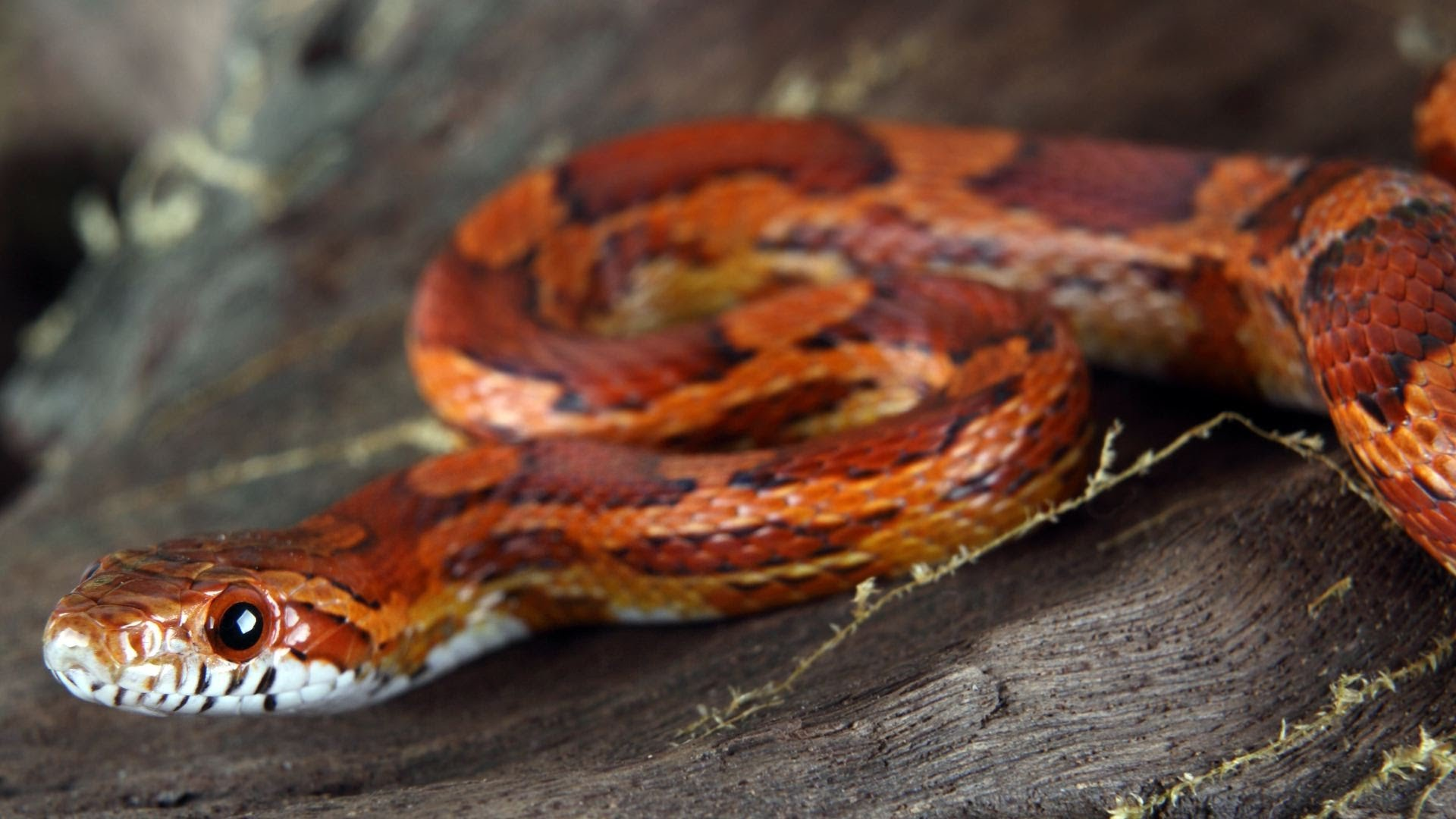 Corn Snake coloring, Download Corn Snake coloring for free ...