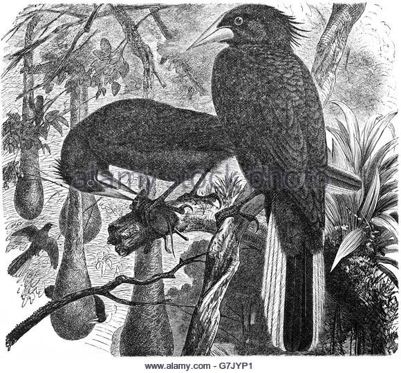 Cornbird coloring #5, Download drawings