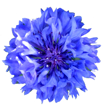 Cornflower clipart #3, Download drawings