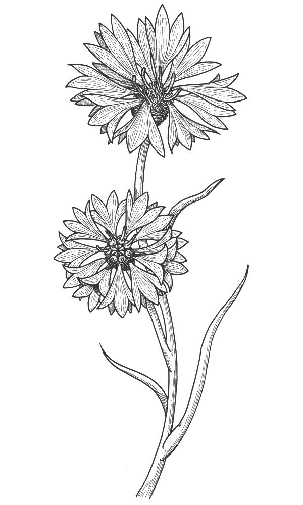 Cornflower coloring #8, Download drawings