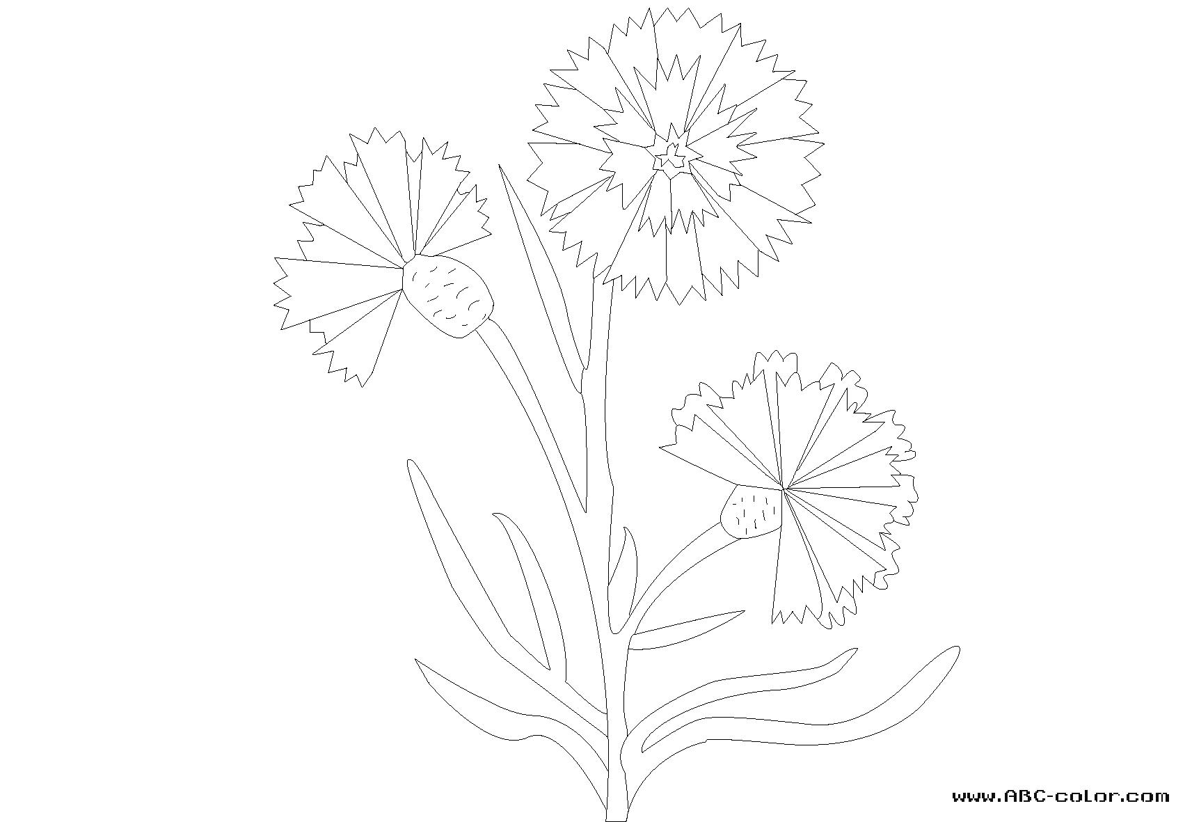 Cornflower coloring #5, Download drawings