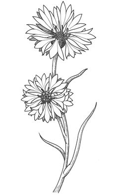 Cornflower coloring #9, Download drawings