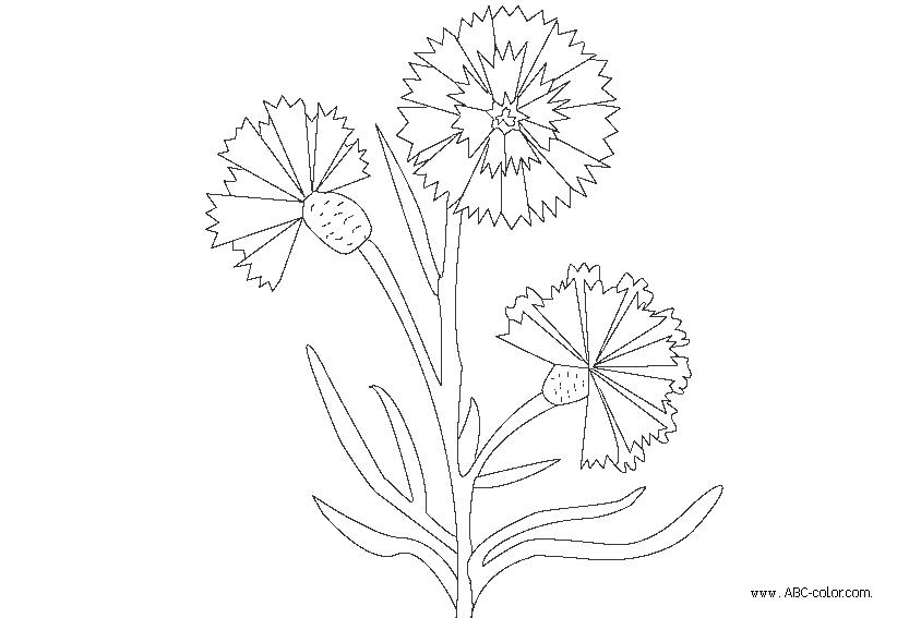 Cornflower coloring #17, Download drawings