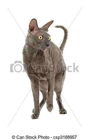 Cornish Rex clipart #10, Download drawings