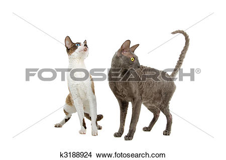 Cornish Rex clipart #9, Download drawings