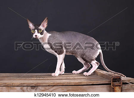 Cornish Rex clipart #4, Download drawings