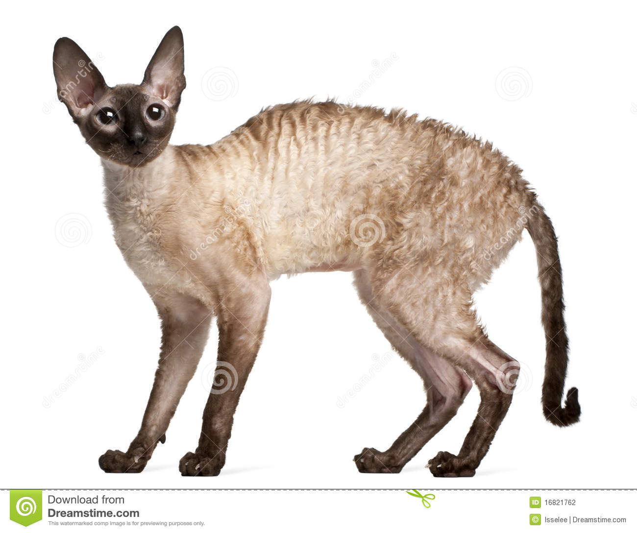 Cornish Rex clipart #20, Download drawings