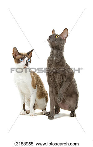 Cornish Rex clipart #19, Download drawings
