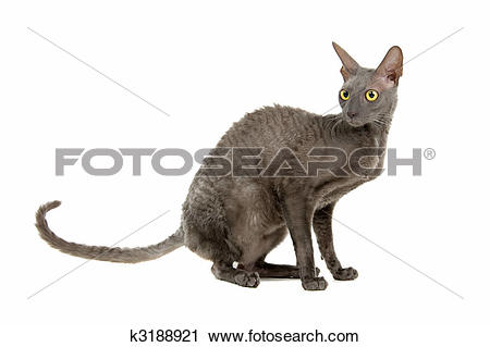 Cornish Rex clipart #18, Download drawings