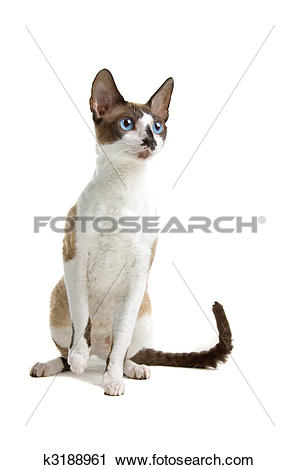 Cornish Rex clipart #12, Download drawings