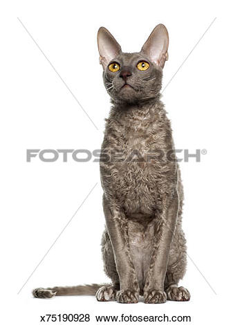 Cornish Rex clipart #13, Download drawings