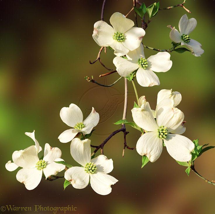 Cornus Blossom clipart #11, Download drawings