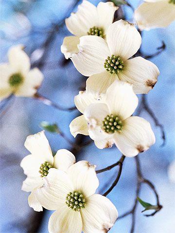 Cornus Blossom clipart #5, Download drawings