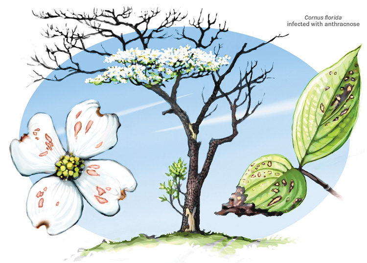 Cornus Blossom clipart #1, Download drawings
