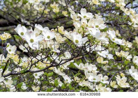 Cornus Blossom clipart #3, Download drawings
