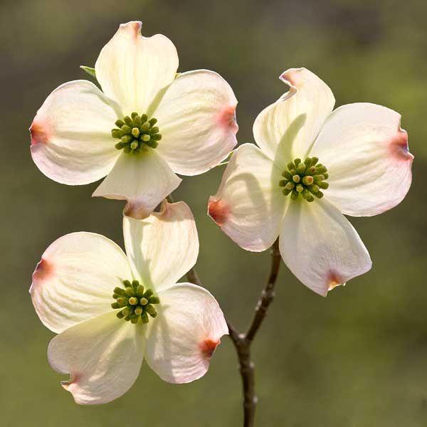 Cornus Blossom clipart #13, Download drawings