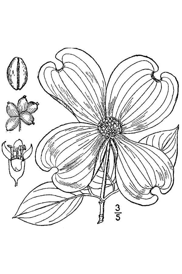 Cornus Blossom coloring #3, Download drawings
